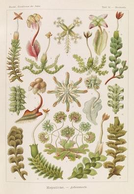 Plate 82, Hepaticae
