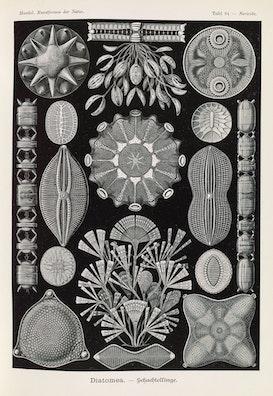 Plate 84, Diatomea