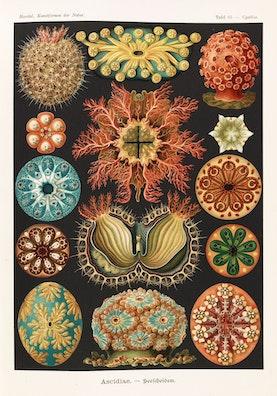 Plate 85, Ascidiae