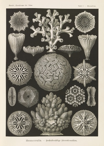 Plate 9, Hexacoralla