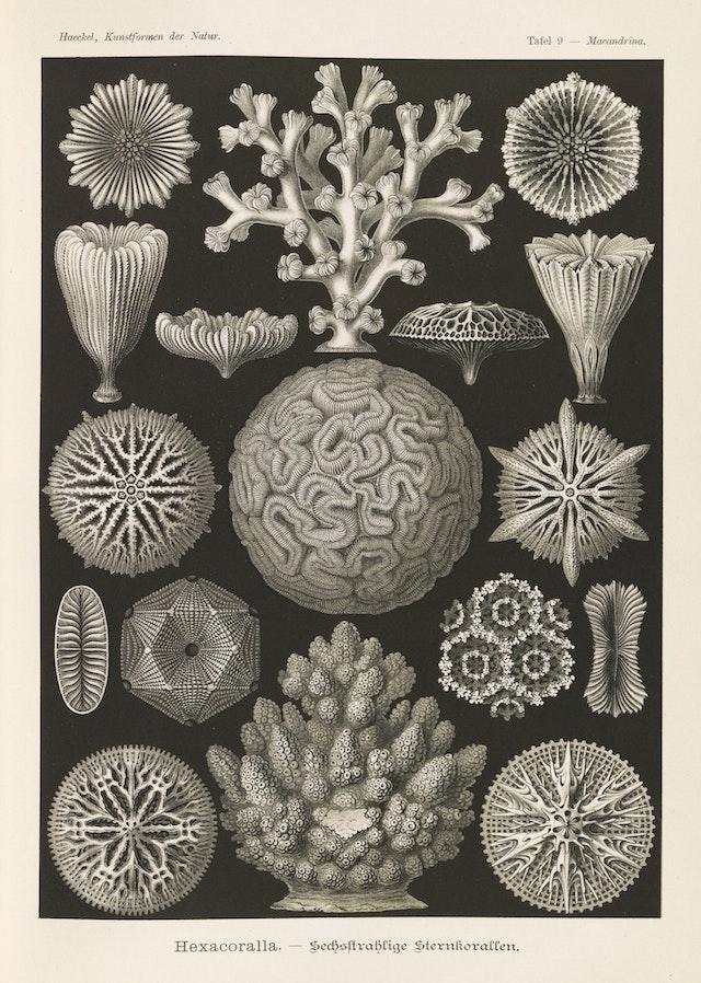 Plate 9, Hexacoralla