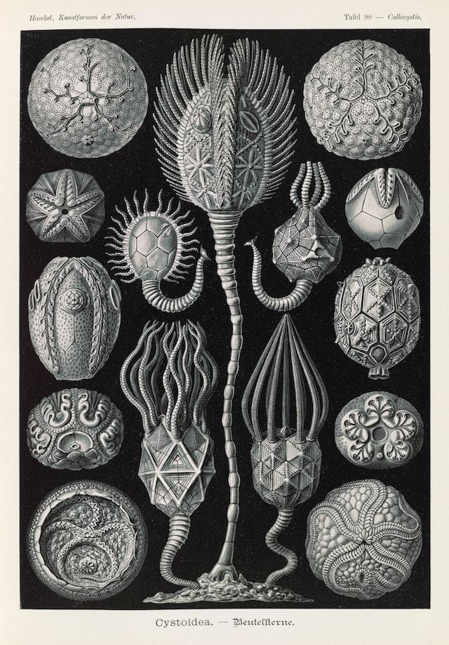 Plate 90, Cystoidea