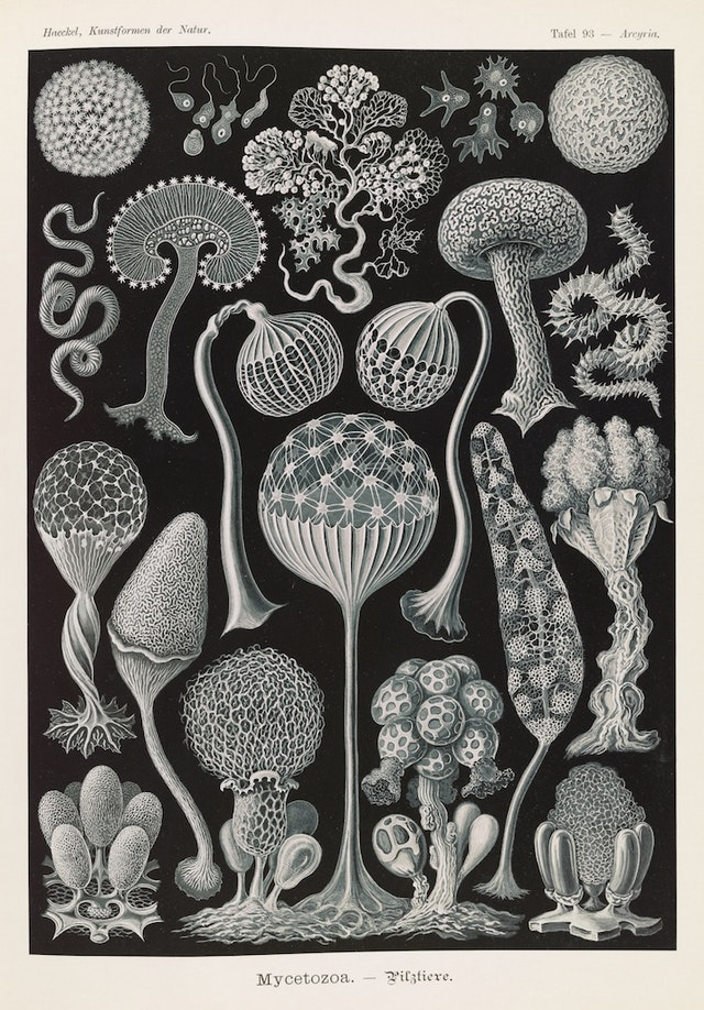 Plate 93, Mycetozoa