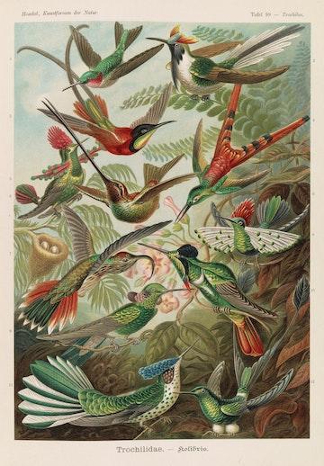 Plate 99, Trochilidae