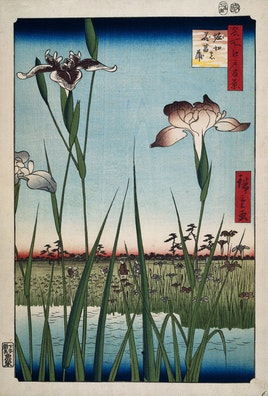 Blooming Irises in Horikiri