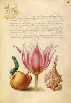 Caterpillar, Pear, Tulip, and Purple Snail