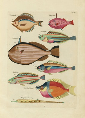 Louis Renard's Fish, Folio 4
