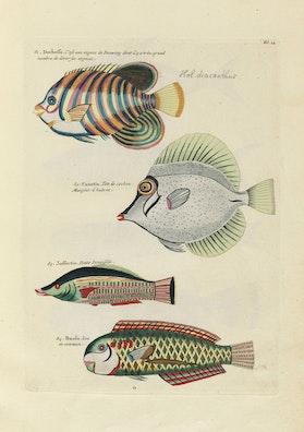 Louis Renard's Fish, Folio 14