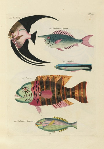 Louis Renard's Fish, Folio 24