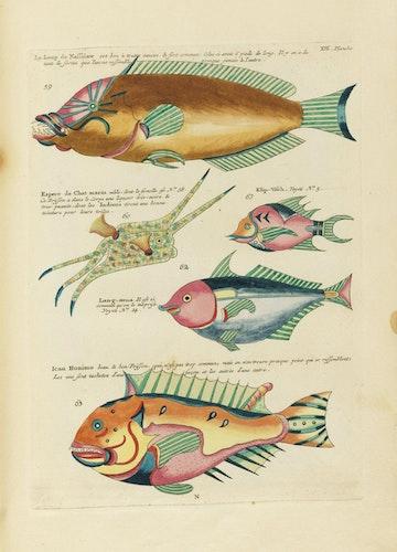 Louis Renard's Fish, Plate XIII