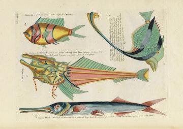 Louis Renard's Fish, Plate XIV