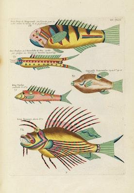 Louis Renard's Fish, Plate XV