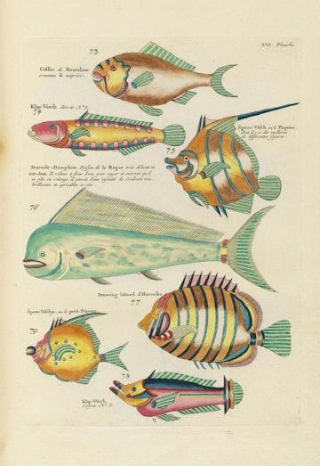 Louis Renard's Fish, Plate XVI