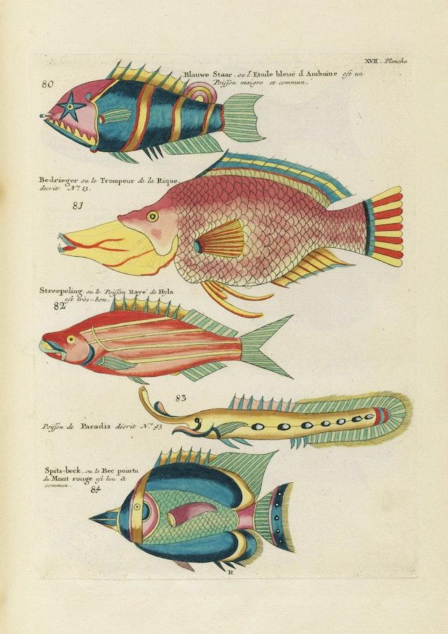 Louis Renard's Fish, Plate XVII