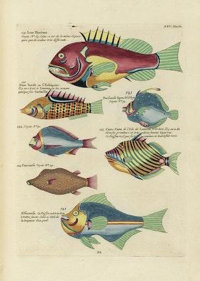 Louis Renard's Fish, Plate XXV
