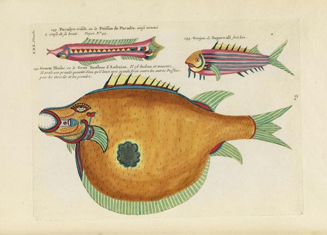 Louis Renard's Fish, Plate XXX