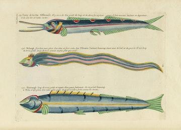Louis Renard's Fish, Plate XI