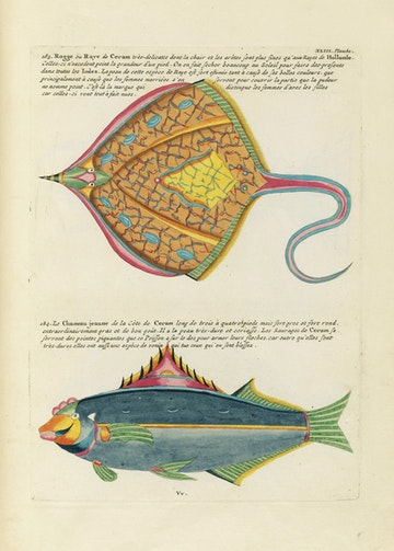Louis Renard's Fish, Plate XLIII