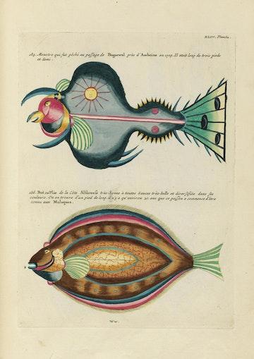 Louis Renard's Fish, Plate XLIV