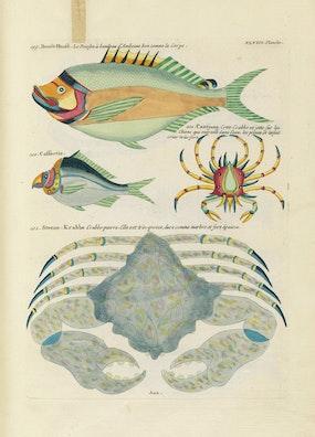 Louis Renard's Fish, Plate XLVIII