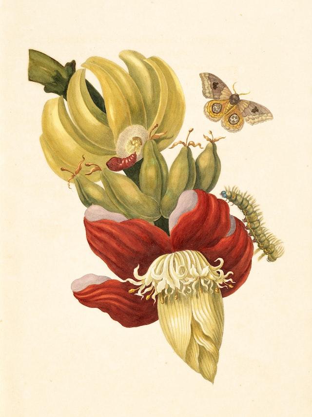 Banana Tree Flower with Io Moth
