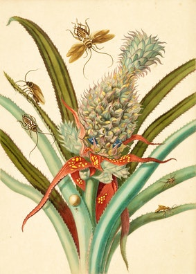 Pineapple with Australian and German Cockroaches