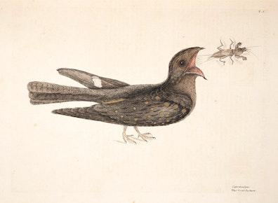 Natural History of Carolina, Florida and the Bahama Islands, v1. Tab 8