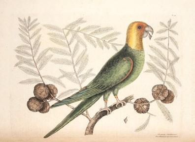 Natural History of Carolina, Florida and the Bahama Islands, v1. Tab 11