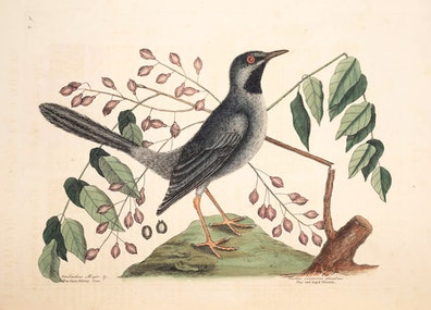 Natural History of Carolina, Florida and the Bahama Islands, v1. Tab 30