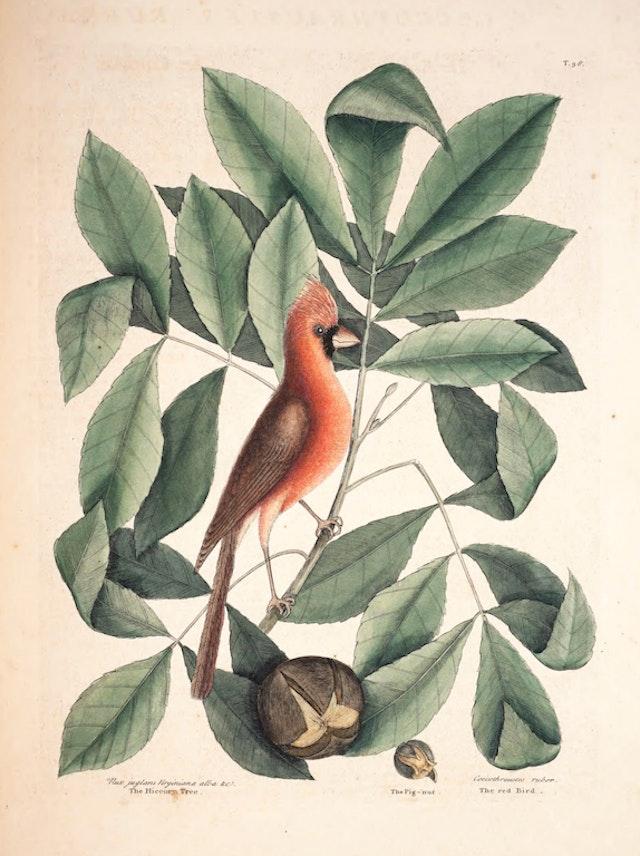 Natural History of Carolina, Florida and the Bahama Islands, v1. Tab 38