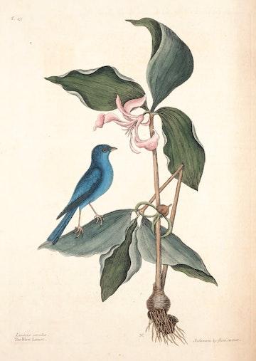 Natural History of Carolina, Florida and the Bahama Islands, v1. Tab 45