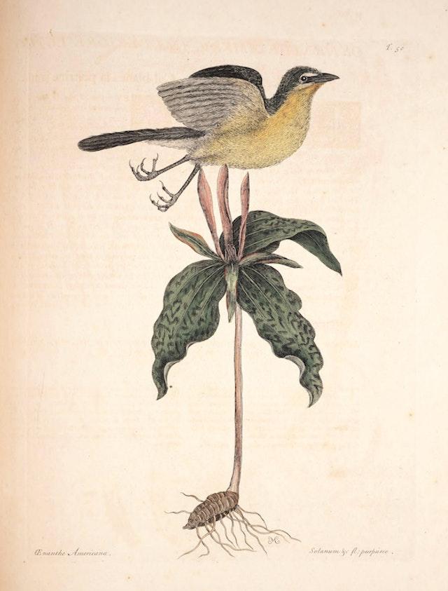 Natural History of Carolina, Florida and the Bahama Islands, v1. Tab 50