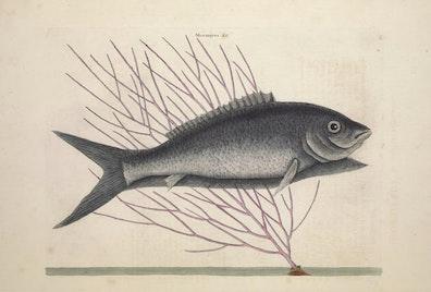 Natural History of Carolina, Florida and the Bahama Islands, v2. Tab 13