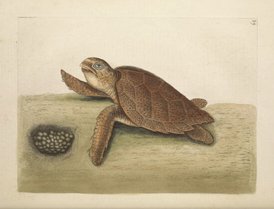 Natural History of Carolina, Florida and the Bahama Islands, v2. Tab 39