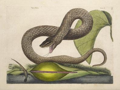 Natural History of Carolina, Florida and the Bahama Islands, v2. Tab 45