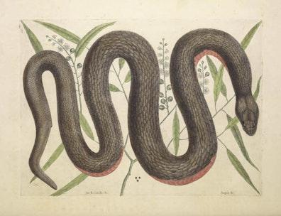 Natural History of Carolina, Florida and the Bahama Islands, v2. Tab 46