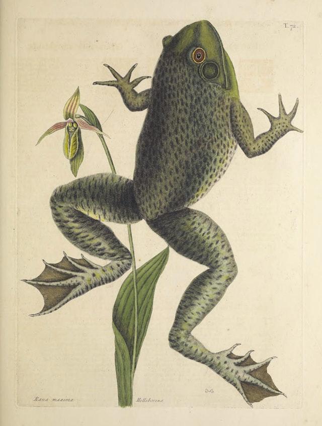 Natural History of Carolina, Florida and the Bahama Islands, v2. Tab 72