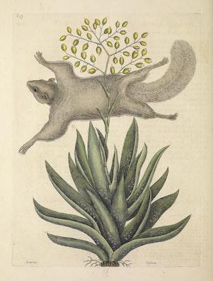 Natural History of Carolina, Florida and the Bahama Islands, v2. Tab 77