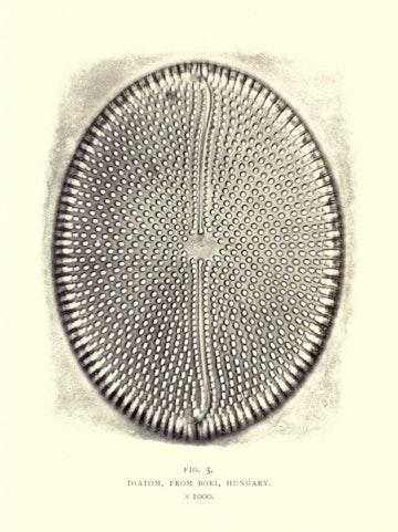 Diatom, from Bori, Hungary