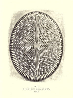Diatom, from Bori, Hungary