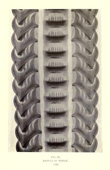 Radula of Whelk