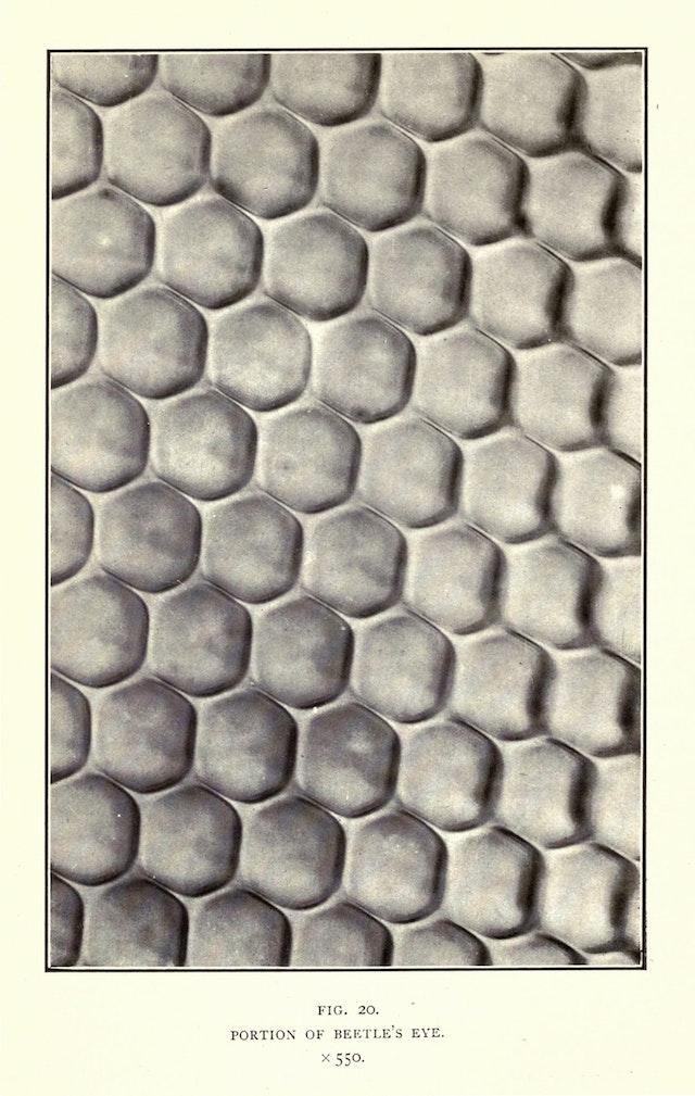 Portion of Beetle's Eye