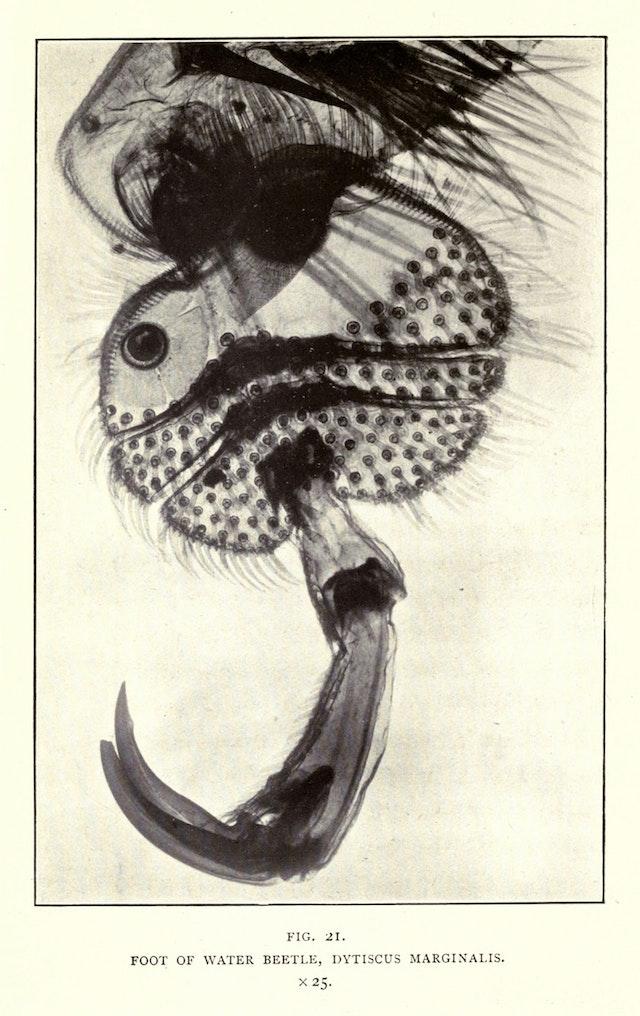 Foot of Water Beetle