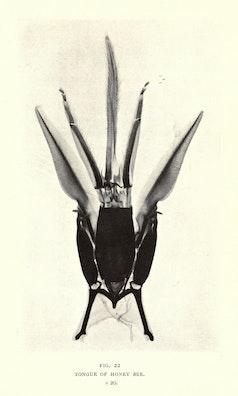 Tongue of Honey Bee