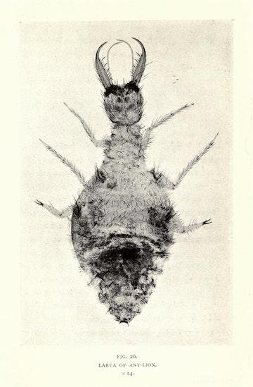 Larva of Ant-Lion