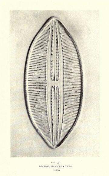 Diatom, Navicula Lyra