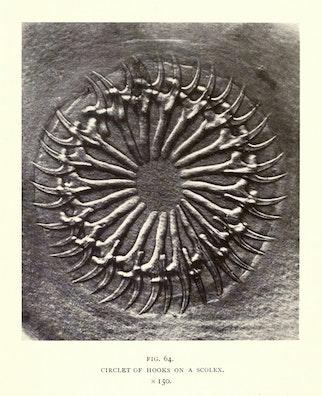 Circlet of Hooks on a Scolex
