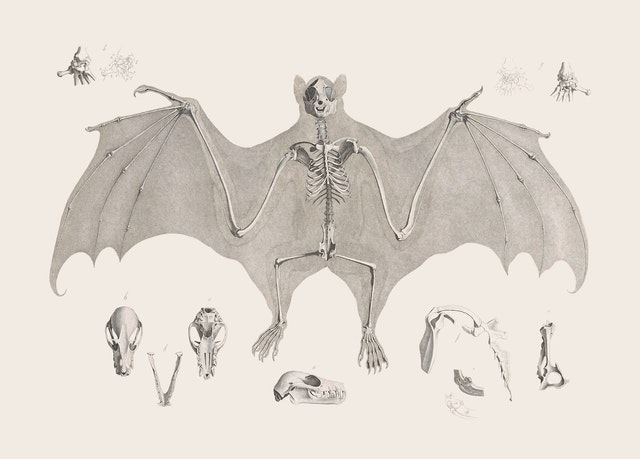 Fruit Bat Skeleton