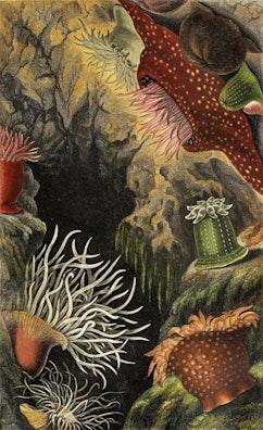Actinologia Britannica, Plate VI