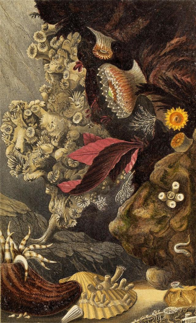 Actinologia Britannica, Plate X